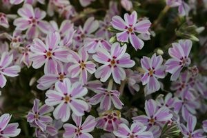 Creeping phlox 'candy stripe' which flowers early spring