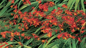 Crocosmia which flowers July and August