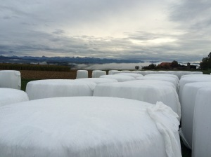 Corn, harvested and wrapped up for the cows to eat in winter