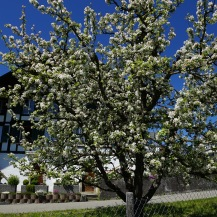 Loving all the apple blossoms